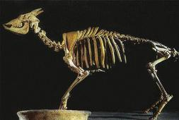 cabra-baleares
