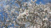 vista previa del artículo Hermosos paisajes de almendros en flor de Mallorca